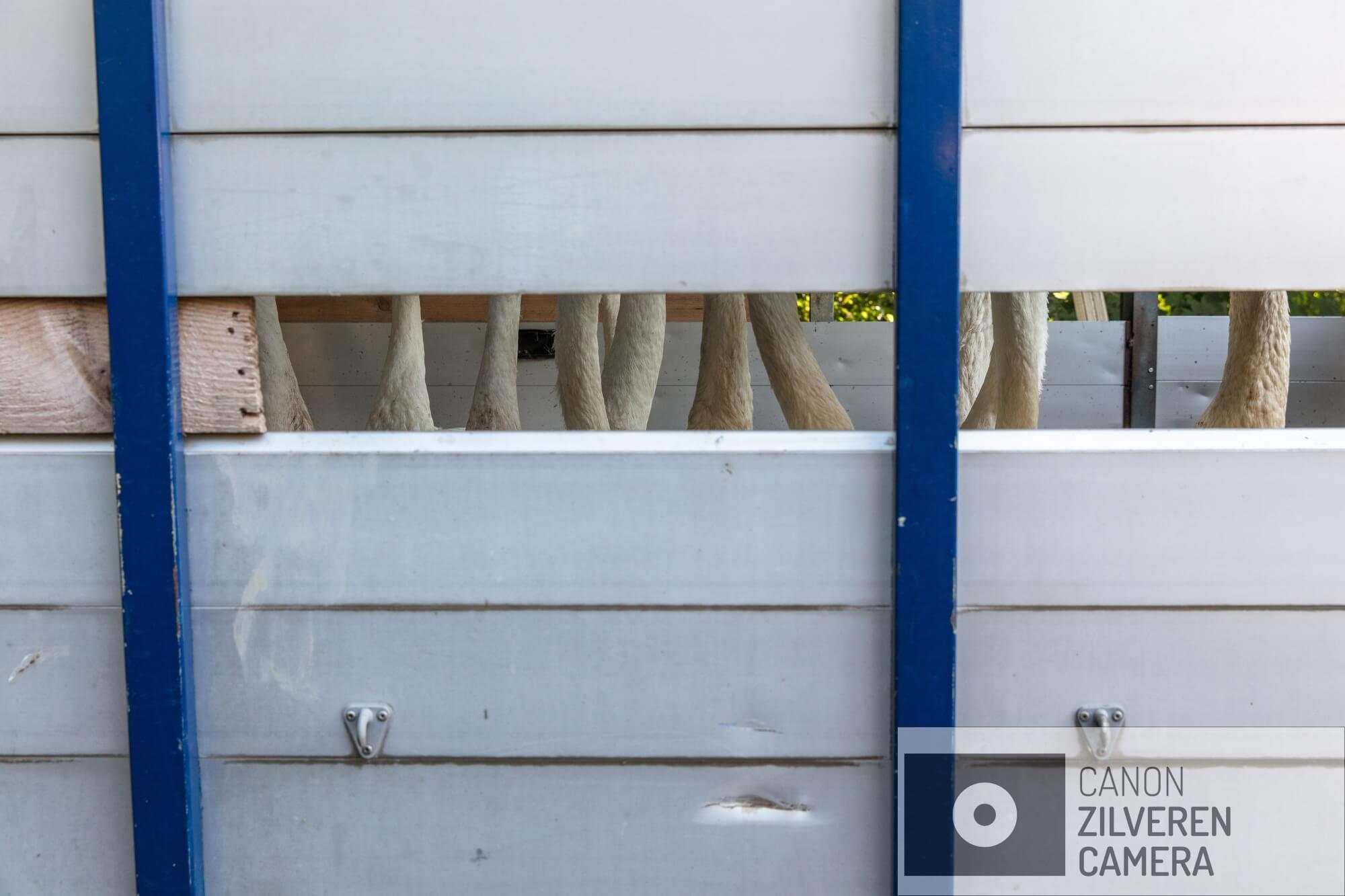 De gereinigde zwanen worden - nadat de olie is verwijderd uit de Haven en de zwanen gereinigd zijn en weer aangesterkt zijn - naar de haven van Hoek van Holland gebracht om te worden losgelaten.Op 23 juni 2018 is er een enorme olievlek ontstaan in de Rotterdamse haven nadat een tanker tegen een steiger was gebotst. Meer dan 200 ton olie kwam in het water terecht, met ernstige gevolgen voor de watervogels in het gebied waaronder de zwanen. Deze fotoserie is gemaakt bij een vogelopvangcentrum in Hoek van Holland (de Houtsnip), waar met man en macht is gewerkt om de besmeurde zwanen te reinigen en goed op te vangen. De naam van de serie ziet op de aanpak van Vogelopvang de Houtsnip, die bewust afweek van het protocol voor wassen van met olie verontreinigde vogels. Dit protocol schrijft voor dat je na het vangen twee of drie dagen moet wachten met de reiniging om de vogels eerst weer op krachten te laten komen en te laten 'ontstressen'. De Houtsnip gelooft echter dat dit bij zwanen onverantwoord is, omdat deze vogels zich continu blijven poetsen en daardoor de verontreinigde olie ook binnen krijgen. Bovendien vindt de Houtsnip dat door direct met wassen te beginnen de vogels maar 1x stress hebben en niet na twee dagen rust opnieuw in een voor hen bedreigende situatie worden gebracht. Daarnaast leken de vele vrijwilligers het zelf ook prettig te vinden om snel aan de slag te kunnen om de vogels te helpen, in plaats van lijdzaam af te wachten totdat de wachttijd voorbij is: er wordt met veel passie en inzet gewerkt. Het op de juiste wijze reinigen lijkt overigens ook een hele kunst. Het moet volgens het protocol met Dreft, dat er in grote hoeveelheden doorheen gaat. Het heel goed uitspoelen is wezenlijk, omdat anders het verenkleed wordt aangetast en de zwaan zelfs zijn drijfvermogen kan verliezen.