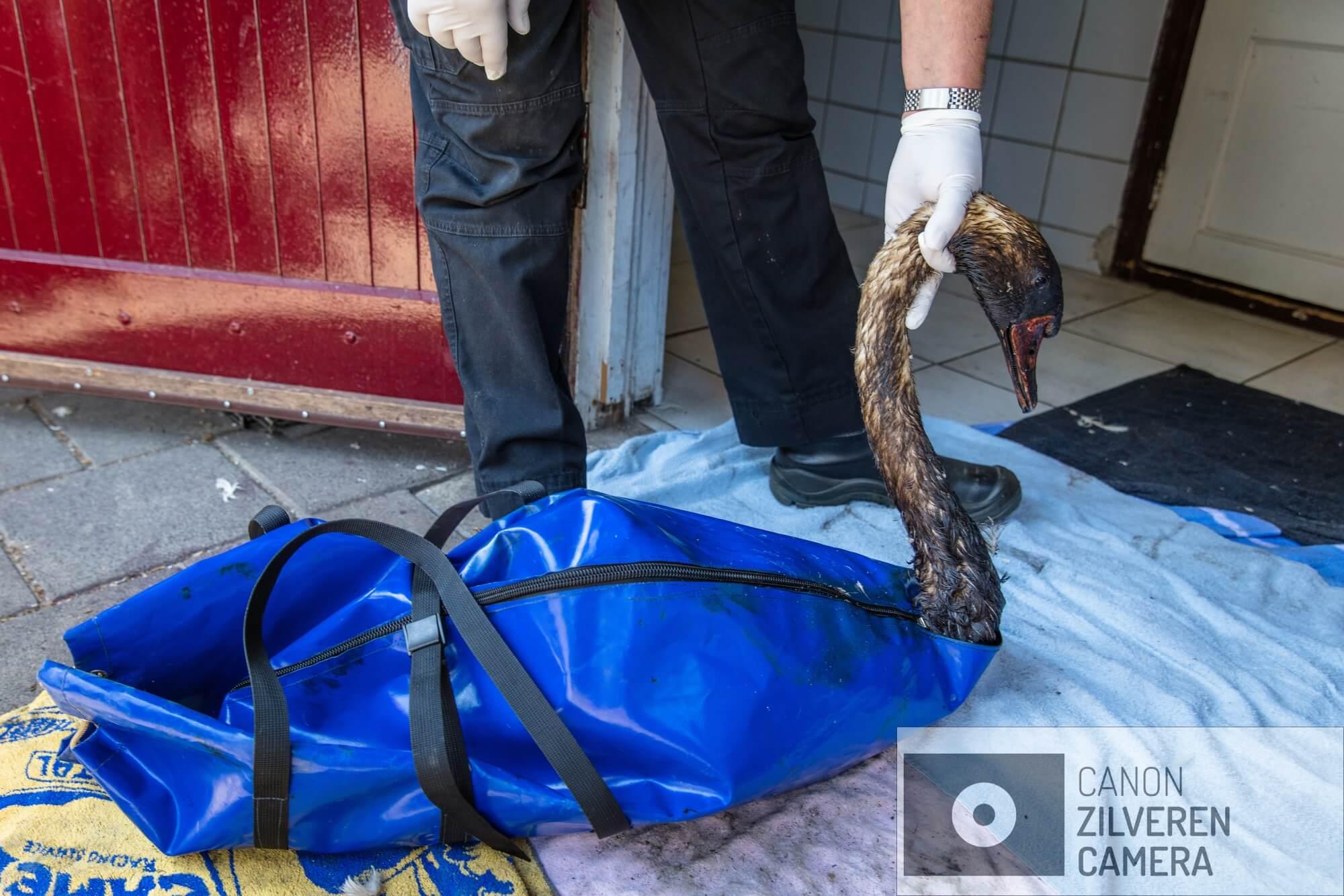 Een met olie besmeurde zwaan wordt binnengebracht in opvangcentrum De Houtsnip. Op 23 juni 2018 is er een enorme olievlek ontstaan in de Rotterdamse haven nadat een tanker tegen een steiger was gebotst. Meer dan 200 ton olie kwam in het water terecht, met ernstige gevolgen voor de watervogels in het gebied waaronder de zwanen. Deze fotoserie is gemaakt bij een vogelopvangcentrum in Hoek van Holland (de Houtsnip), waar met man en macht is gewerkt om de besmeurde zwanen te reinigen en goed op te vangen. De naam van de serie ziet op de aanpak van Vogelopvang de Houtsnip, die bewust afweek van het protocol voor wassen van met olie verontreinigde vogels. Dit protocol schrijft voor dat je na het vangen twee of drie dagen moet wachten met de reiniging om de vogels eerst weer op krachten te laten komen en te laten 'ontstressen'. De Houtsnip gelooft echter dat dit bij zwanen onverantwoord is, omdat deze vogels zich continu blijven poetsen en daardoor de verontreinigde olie ook binnen krijgen. Bovendien vindt de Houtsnip dat door direct met wassen te beginnen de vogels maar 1x stress hebben en niet na twee dagen rust opnieuw in een voor hen bedreigende situatie worden gebracht. Daarnaast leken de vele vrijwilligers het zelf ook prettig te vinden om snel aan de slag te kunnen om de vogels te helpen, in plaats van lijdzaam af te wachten totdat de wachttijd voorbij is: er wordt met veel passie en inzet gewerkt. Het op de juiste wijze reinigen lijkt overigens ook een hele kunst. Het moet volgens het protocol met Dreft, dat er in grote hoeveelheden doorheen gaat. Het heel goed uitspoelen is wezenlijk, omdat anders het verenkleed wordt aangetast en de zwaan zelfs zijn drijfvermogen kan verliezen. Niet lullen maar poetsenOp 23 juni 2018 is er een enorme olievlek ontstaan in de Rotterdamse haven nadat een tanker tegen een steiger was gebotst. Meer dan 200 ton olie kwam in het water terecht, met ernstige gevolgen voor de watervogels in het gebied waaronder de zwanen. Deze fo