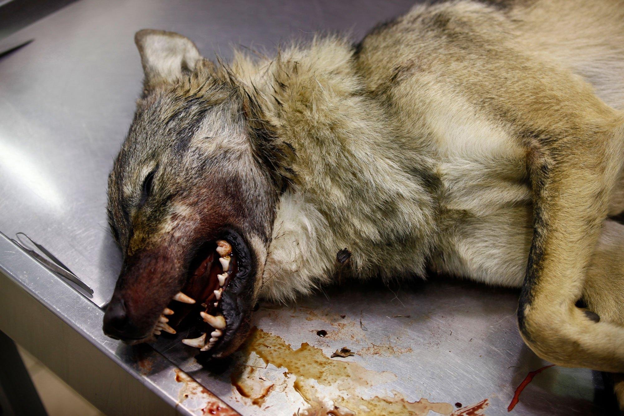 Dode wolven dienen de wetenschap