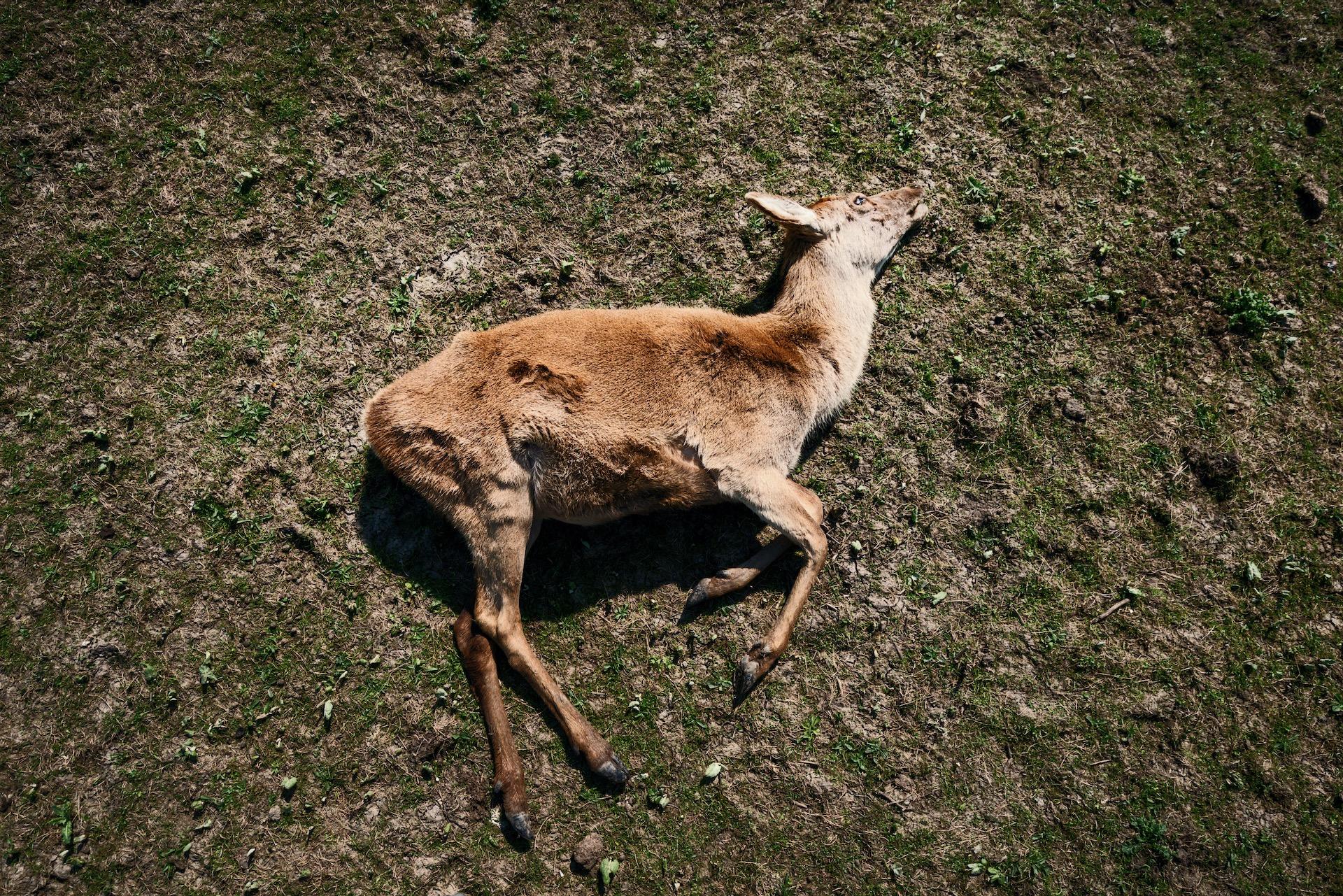 1/7 NB serie begonnen in 2018, voltooid in 2019. Serie over het kadaver van een geschoten hert in de Oostvaardersplassen.